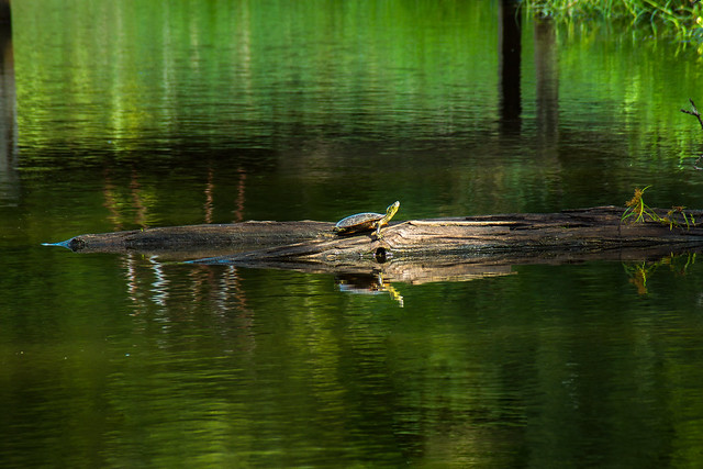 Turtle, Pond, Log, Sun, Nature