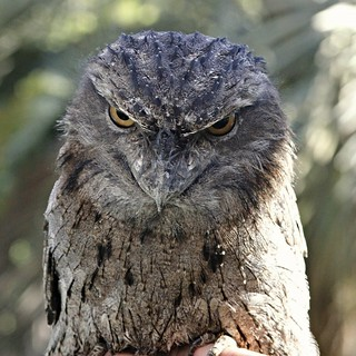 Bird - Tawny frogmouth - Cliff 25 yrs old