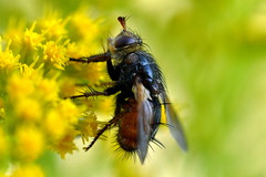 Parasitfluga / Tachinid Fly (Tachina fera)