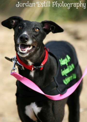 Magic- soppy black female hound looking for a home! 15216983730_2ec2693f45