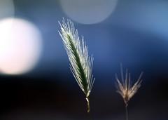 Plus beaucoup de blé en ce moment...