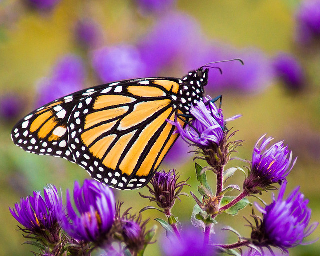 Butterfly, Monarch, Monarch Butterfly, Purple Aster, Wildflowers,