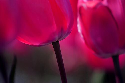 Tulips aglow.