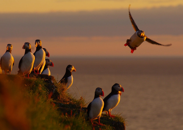 Puffins basking in the midnight sun at 70 deg north.