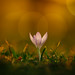 Tale Of A Crocus 2017 Edition - Part I by der_peste (on/off)