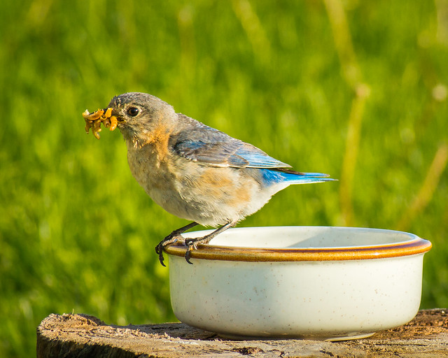 Bluebird, Eastern Bluebird, Meal Worms, Eating, Female
