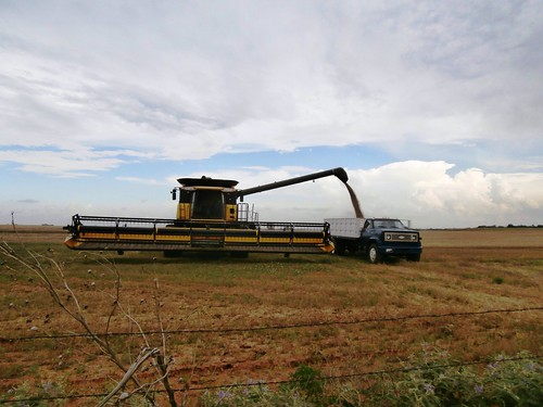 Unloading some seed wheat