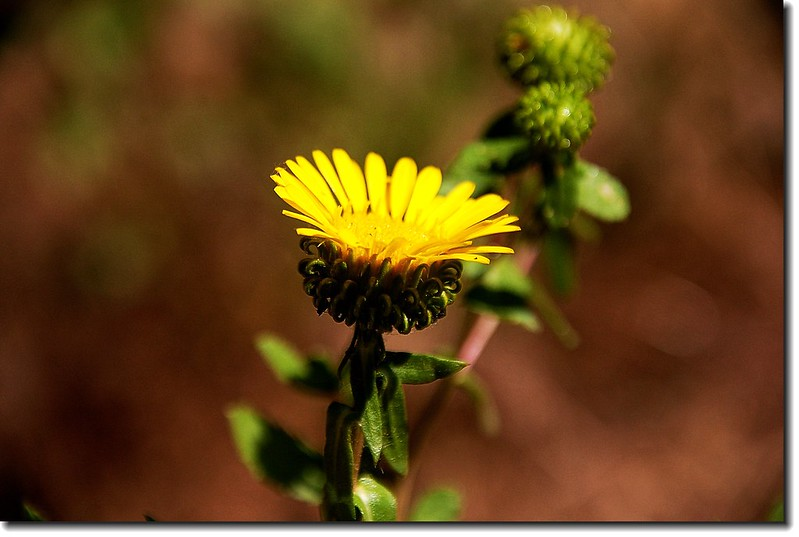 Mountain Gumweed 3