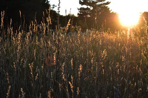 flowers light sunset summer sun sunlight field grass nikon d5000