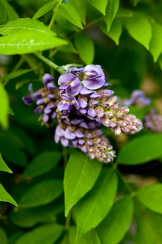 DSC_8915 wisteria