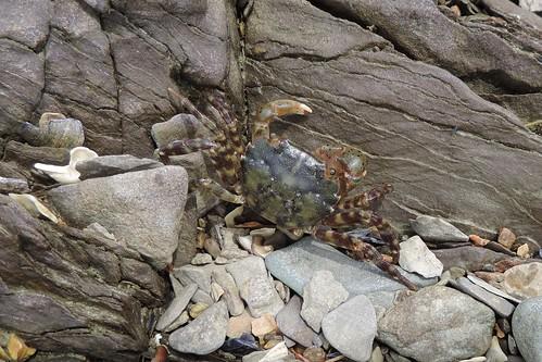 Asian Shore Crab