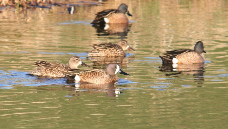blue winged teal 02