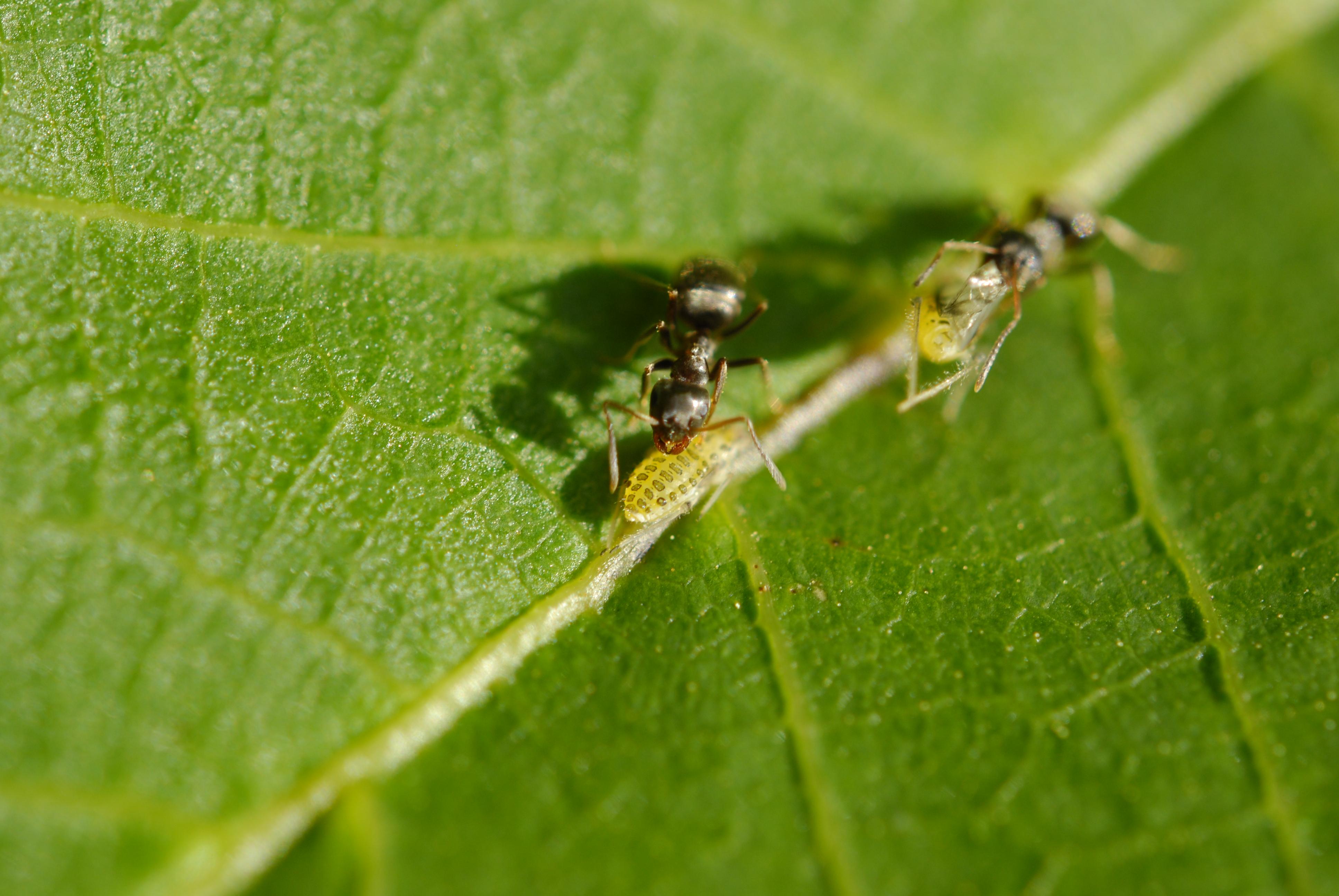 Ants farming