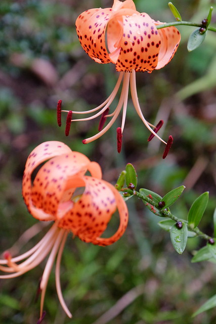 there Tiger lily 01
