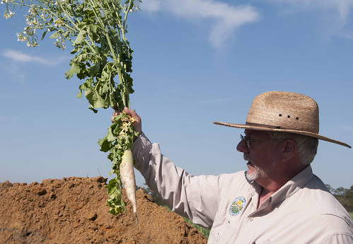 Joel Love with the Florida Department of Agriculture and Consumer Services holds up a radish at Kirk Brock's farm.