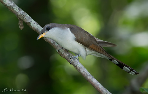 Yellow-billed Cuckoo_MD_Yard_06_14b