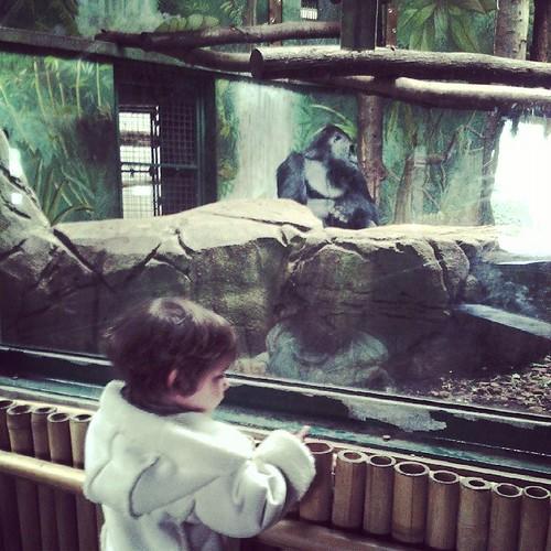 """Néné est admirative des gorilles """"trop mignon"""" #zoo"""