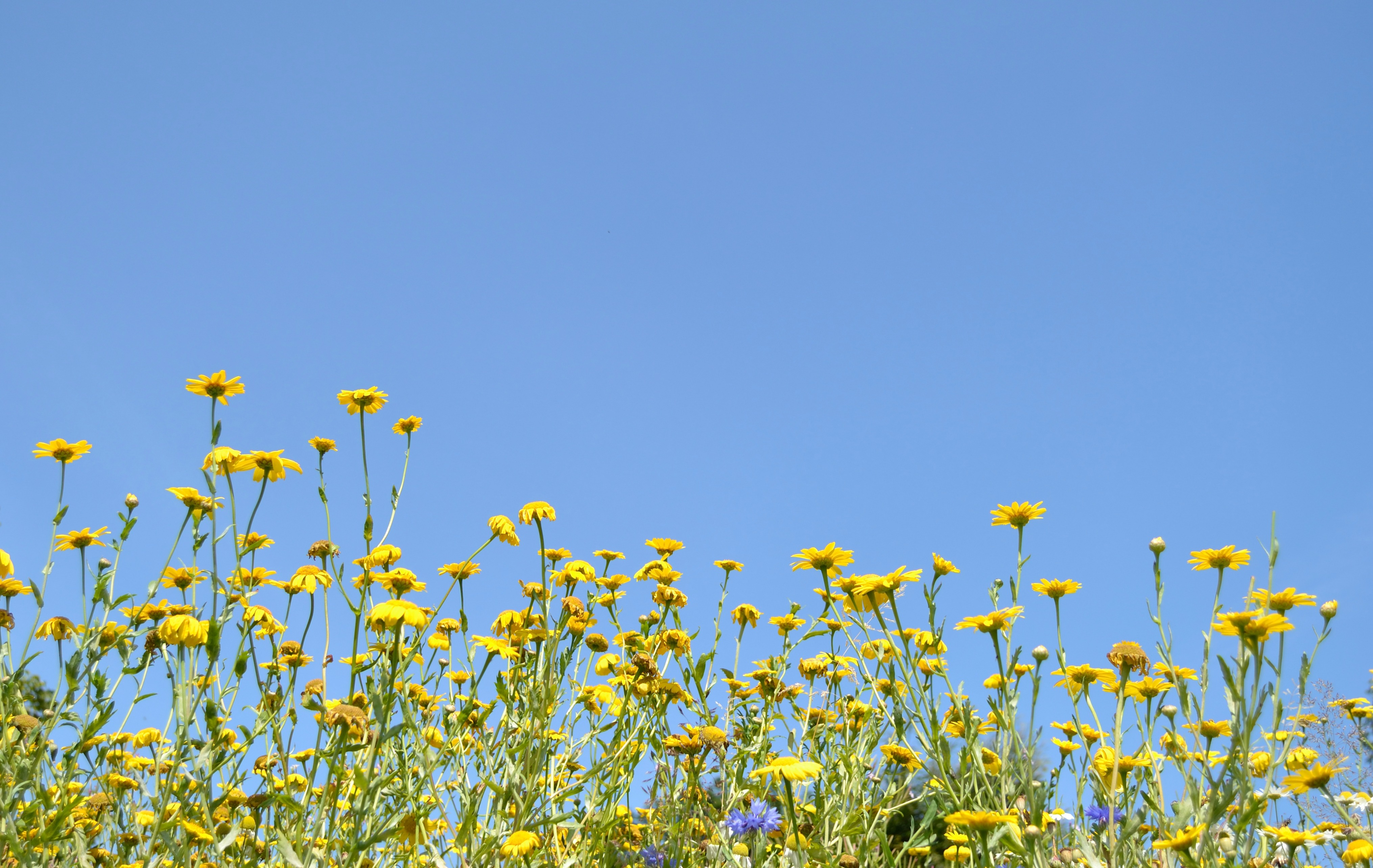 Yellow daisies, wild flowers & blue skies at Figgate Park, Portobello.