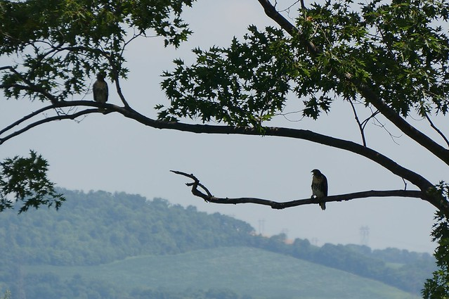 A Pair of Hawks on the Delaware