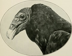 """Image from page 142 of """"Wild wings; adventures of a camera-hunter among the larger wild birds of North America on sea and land"""" (1905)"""
