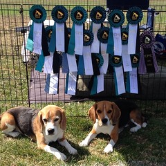 The beagle boys rocked it again at The Bay Team's CPE Agility Trial! Today Dylan went 4/5 (missing his perfect weekend by just 1 Q!) Dax went 2/5 today getting taken out by a really hard snooker and jackpot. Weekend totals: Dylan 9/10 and Dax 7/10... Exac
