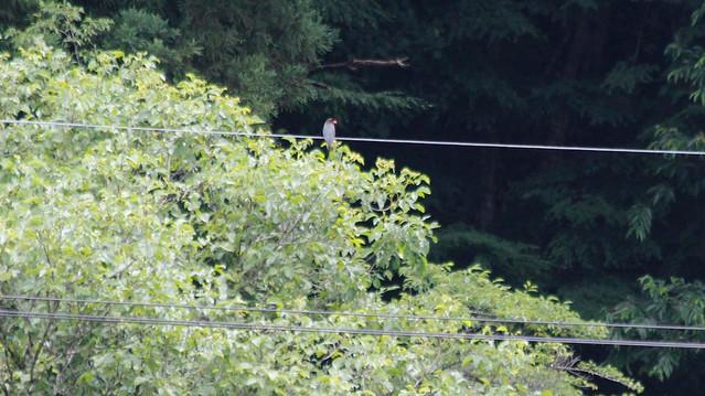 巣箱近くの電線にとまる親鳥.くちばしの赤がよく目立