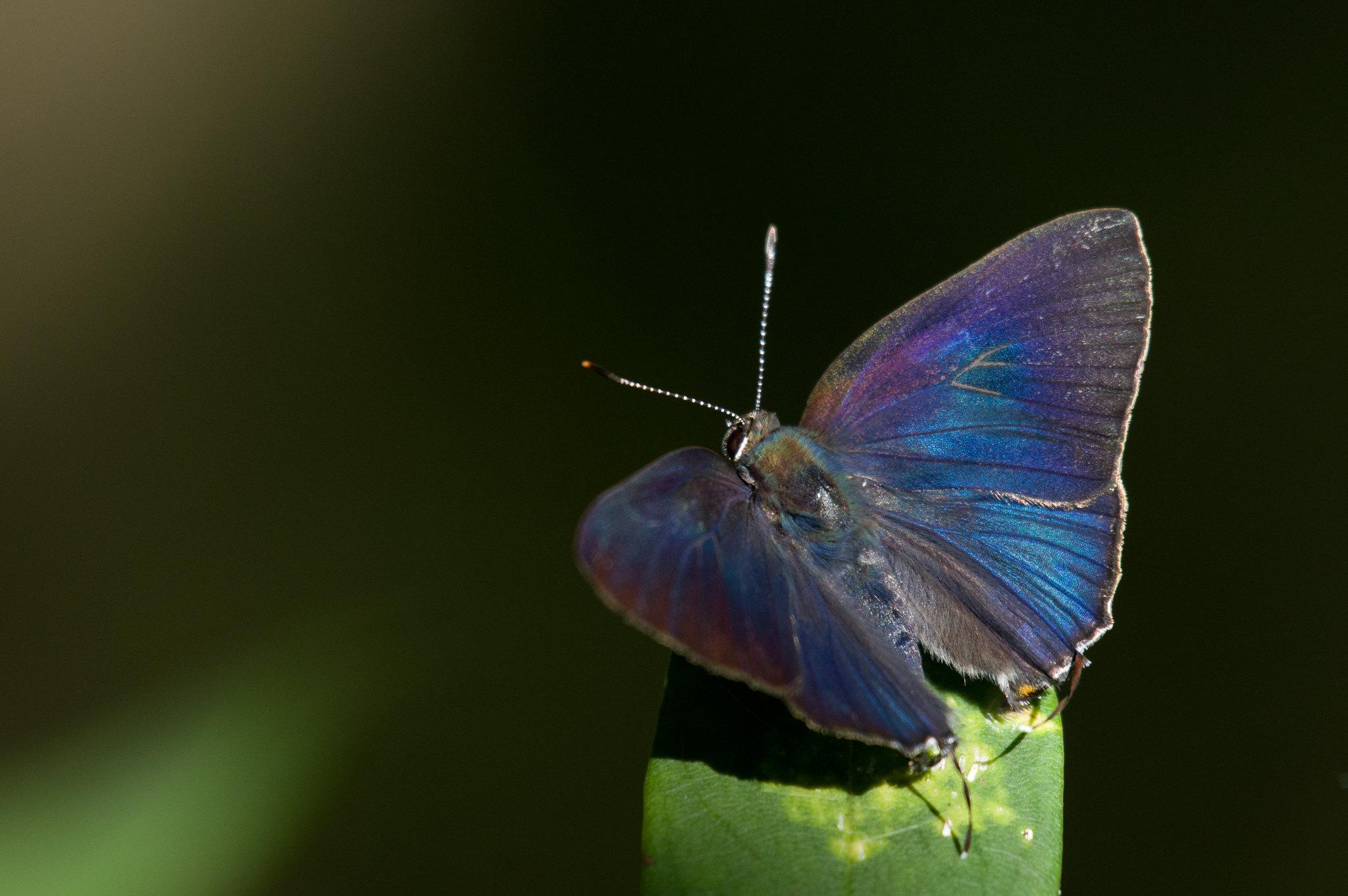 森林光影下的墾丁小灰蝶