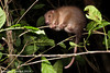 Daintree ringtail possum (Pseudochirulus cinereus)
