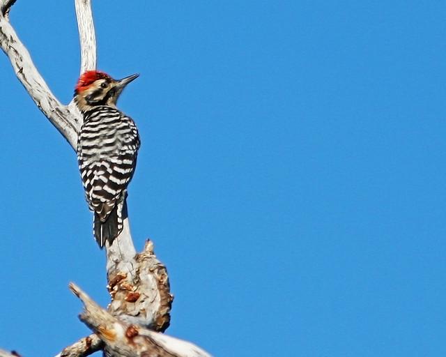 Woodpecker Ladder BackIMG_9910