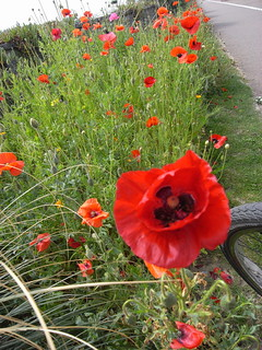 Hove poppies