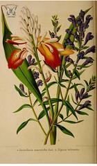 Indian Ginger, Alpinia calcarata with Skullcap, Scutellaria baicalensis [as Scutellaria macrantha]. La Belgique horticole, journal des jardins et des vergers, vol.7 (1857)..