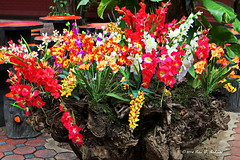 Orchids of Chiang Mai.