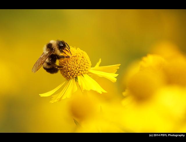 Bumble bee on Sneezeweed (Helenium autumnale)