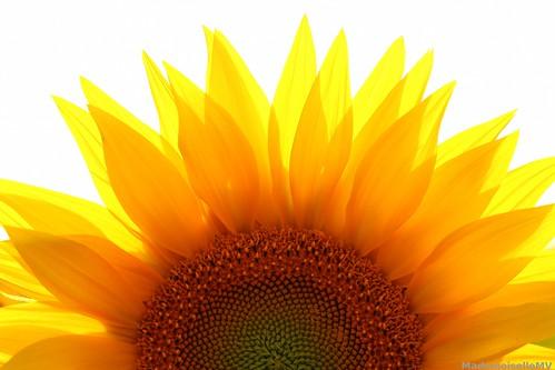 Rising of the sun... flower