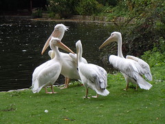 great egret(0.0), egret(0.0), animal(1.0), pelican(1.0), wing(1.0), fauna(1.0), beak(1.0), bird(1.0), seabird(1.0), wildlife(1.0),