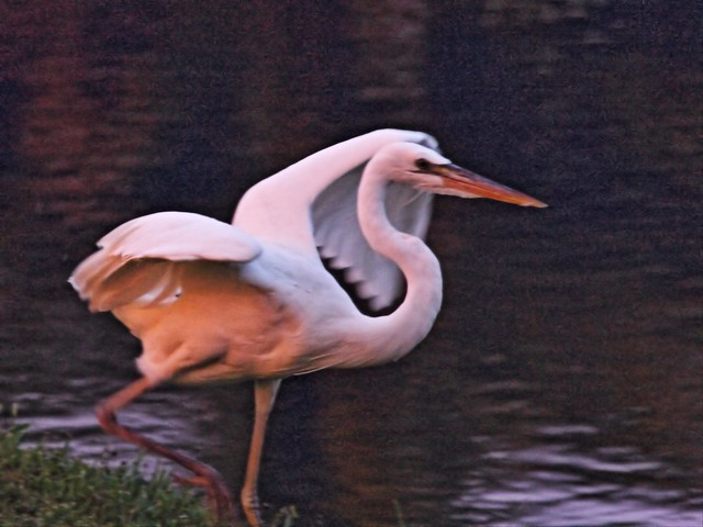 Great White Heron 1909 PM 20140816