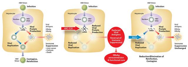 HBV Diagrams--Final 11-7-13