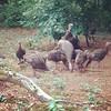 Swarm of turkeys in the yard