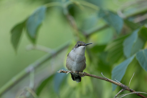 Resting Ruby-throated Hummingbird