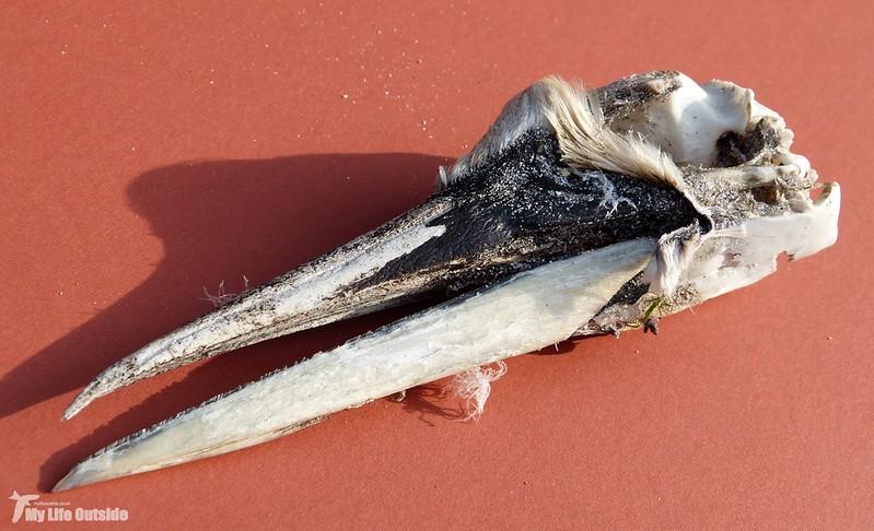 P1080998 - Gannet Skull