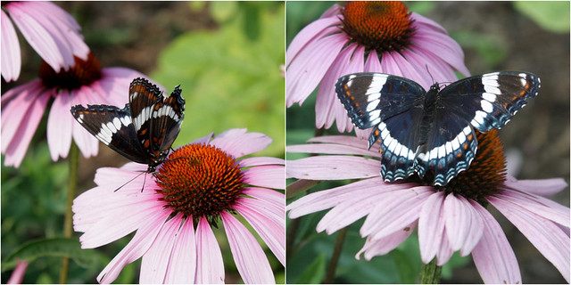 two pictures: white admiral butterflies, one from the left side and one from the top