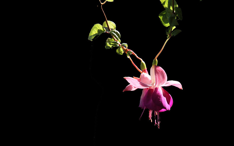 back lit fuschia2