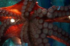 coral(0.0), marine biology(0.0), pomacentridae(0.0), animal(1.0), octopus(1.0), organism(1.0), invertebrate(1.0), macro photography(1.0), marine invertebrates(1.0),