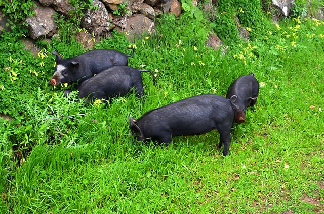 missing piglets in the verge, El Hierro