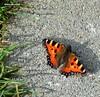 Small Toitoiseshell butterfly