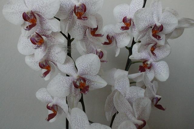 Orquídea Phaleonopsis
