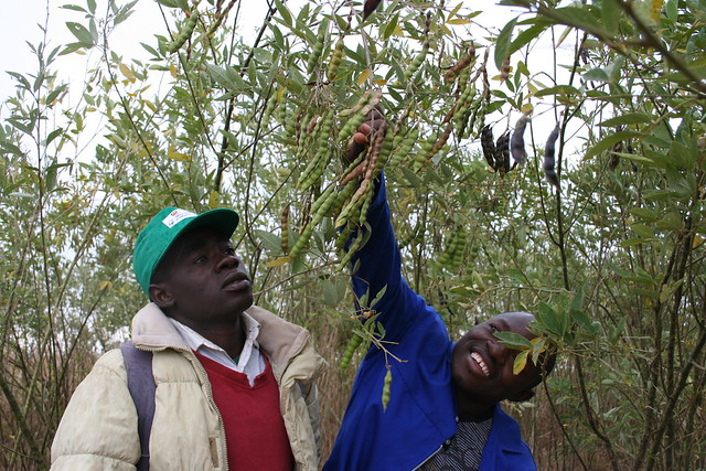 Eherculano Thomas Rice (left) from Chimoio, Mozambique shows the pigeon pea he uses to improve soil fertility in his field. Credit: Busani Bafana/IPS