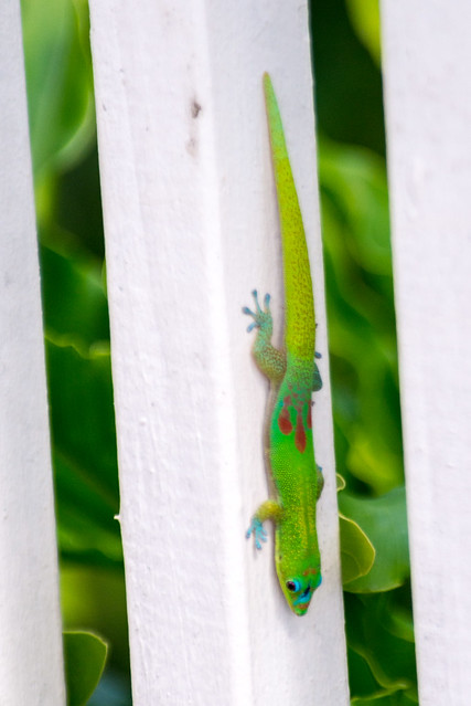 Gold Dust Day Gecko (Phelsuma laticauda), Kauwai, Hawaii, USA