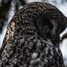 Grey Owl Sleeping