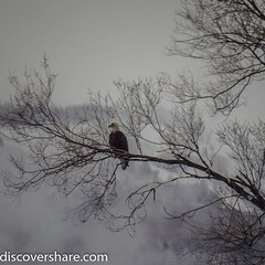 Headed south this weekend for #eagledays . We saw a handful of them but unfortunately most of them were in trees too far from the road to get really good shots. This was taken with a 1000mm lens of dubious quality. #Explorediscovershare #photograph #eagle